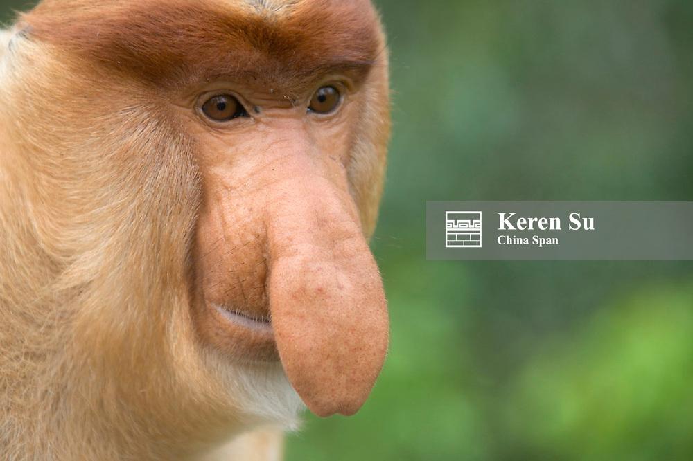 Proboscis monkey (Nasalis larvatus), Sandakan, Borneo, Malaysia