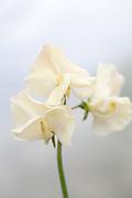 Lathyrus odoratus 'Juliet' - sweet pea