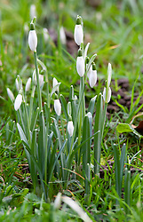 © Licensed to London News Pictures. 02/01/2019. Sidcup, UK.Early Snowdrops making an appearance at St James church grave yard next to Footcray Meadows.  A cold weather morning at Footscray Meadows, Sidcup, South East London as dog walkers and joggers are out and about for a January sunrise. Photo credit: Grant Falvey/LNP