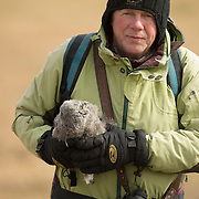 Denver Holt carrying a snowy owl (Bubo scandiacus) chick. Alaska