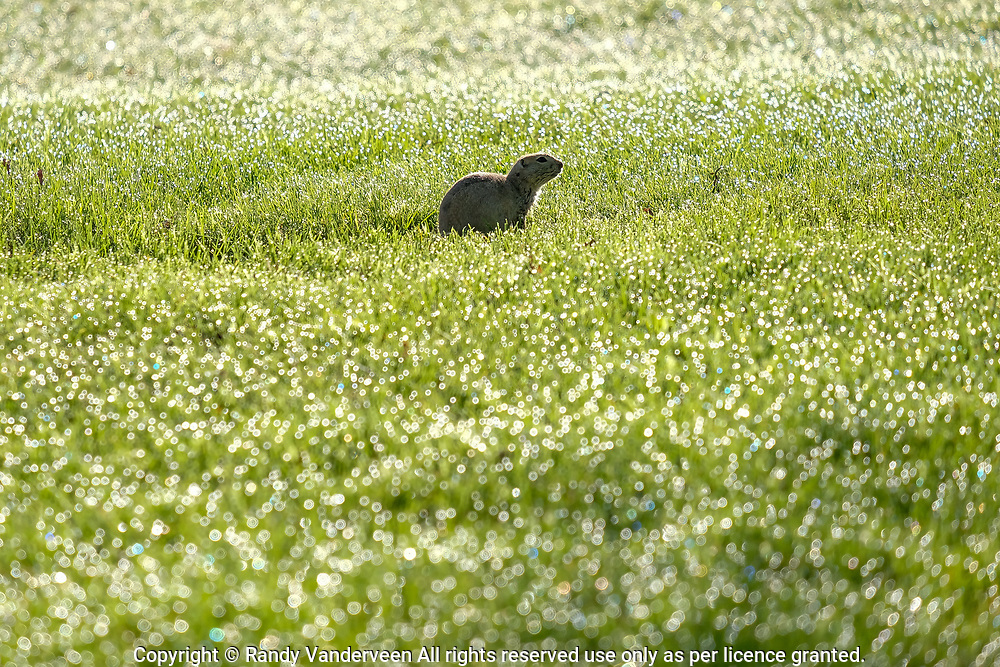 Photo Randy Vanderveen<br /> 2019-05-30,<br /> St. Mary Reservoir Provincial Recreation Area, Alberta<br /> A Richardson's ground squirrel makes its way across the dew-covered grass of the St. Mary Lower Campground southwest of Lethbridge.  A dead end loop of the St Mary River in the lower campground provides plenty of wildlife habitat for campers and day use patrons to see.
