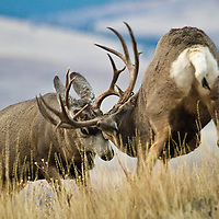 Two stout Western Montana mule deer test each other as the rut begins to heat up on November 1.