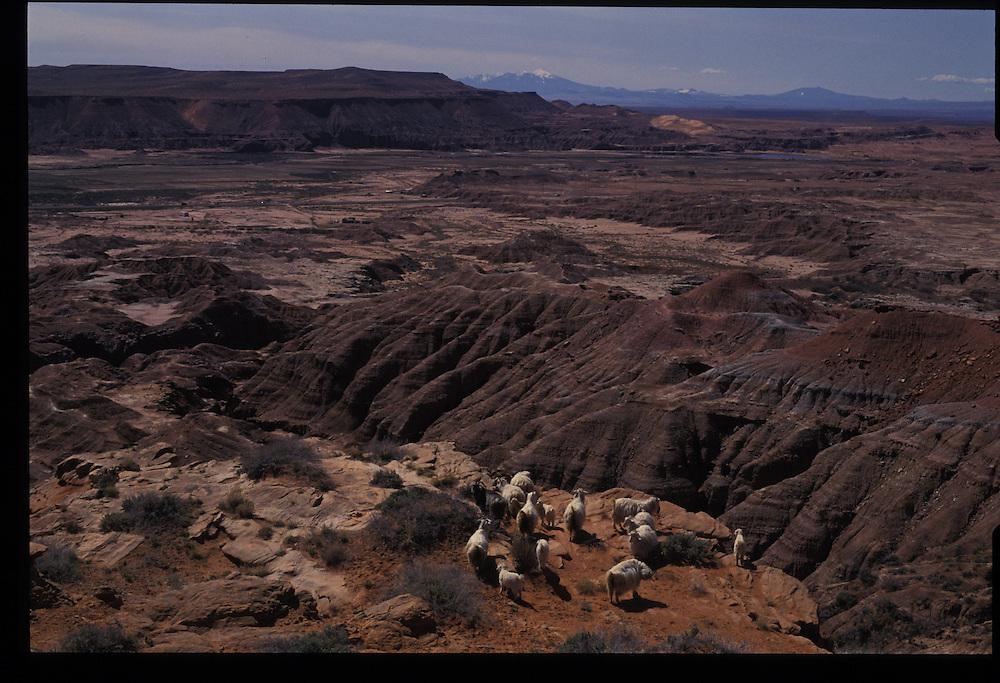 Sheep on ledge west of Tuba City, Arizona.   1993