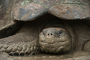 Galapagos Giant Tortoise (Chelonoidis nigra)<br /> Santa Cruz Island<br /> GALAPAGOS ISLANDS,<br /> Ecuador, South America<br /> Endemic