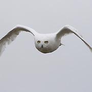 A male snowy owl takes flight in the Alaskan arctic.