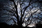 Wild branches at dusk. Quercus ilex - Mediterranean Oak, winter sunset