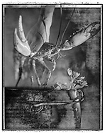 Solaroids - You Are What You Eat - Lobster Thermidor 2 - A Solaroid and abstract black and white series of photos by photographer Paul Williams. Taken in 1991 for an exhibition at The Association Photographers Gallery London .<br /> <br /> Visit our FINE ART PHOTO  PRINT COLLECTIONS for more wall art photos to browse https://funkystock.photoshelter.com/gallery-collection/Fine-Art-Photo-Prints-by-Photographer-Paul-Williams/C0000UM829OLMVv8 .