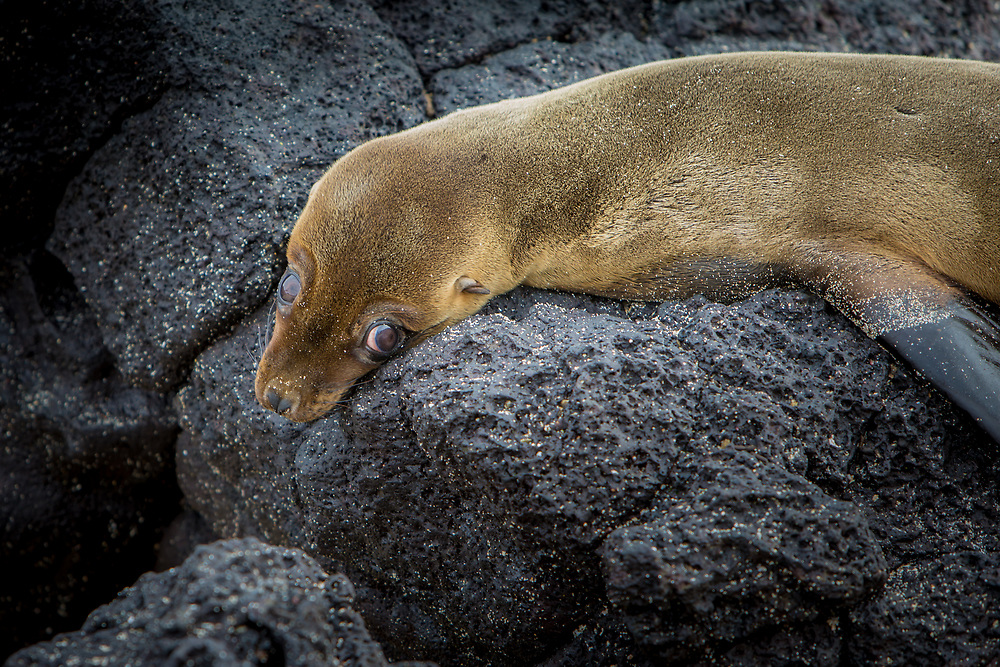 Sea Lion with innocent look at the Galapagos Islands