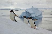 Gentoo Penguin (Pygoscelis papua) climbing snowfield to reach breeding colony on Useful Island in the Gerlache Strait.