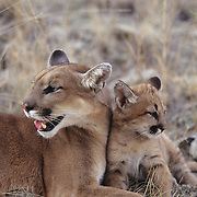 Mountain Lion (Felis concolor) adult and young in the Rocky Mountains in Montana.  Captive Animal