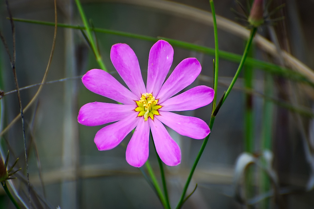 This large showy sabatia is commonly found in freshwater wetlands in South Florida, such as this one in the Big Cypress National Preserve.