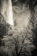 Bridalveil Fall and oak tree, Yosemite National Park, California USA
