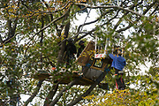 An anti-HS2 tree protector hangs from the arm of a cherry picker whilst National Eviction Team bailiffs working on behalf of HS2 Ltd continue to dismantle his tree house at a wildlife protection camp in ancient woodland at Jones' Hill Wood on 1 October 2020 in Aylesbury Vale, United Kingdom. Around 40 environmental activists and local residents, some of whom living in makeshift tree houses 60 feet above the ground, were present during the evictions at Jones' Hill Wood which had served as one of several protest camps set up along the route of the £106bn HS2 high-speed rail link in order to resist the controversial infrastructure project.