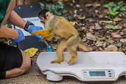 Squirrel monkeys are weighed by a keeper - The annual weigh-in records animals' vital statistics at ZSL London Zoo. London, 24 August 2017