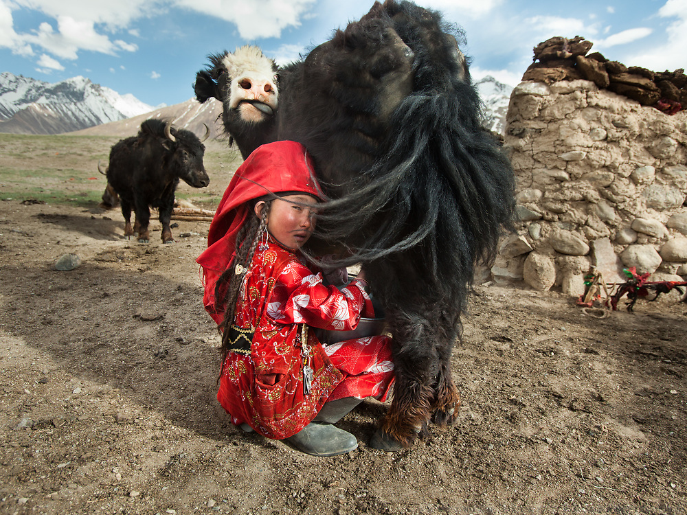 Ayeem Khan milks the family yak usually twice a day - morning and evening.<br /> Summer camp of Muqur, Er Ali Boi's place.<br /> <br /> Trekking through the high altitude plateau of the Little Pamir mountains (average 4200 meters) , where the Afghan Kyrgyz community live all year, on the borders of China, Tajikistan and Pakistan.