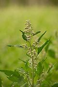 Oro quinoa bred by Frank Morton of Wild Gareden Seed.