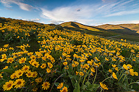 Yellow balsamroot wildflowers blanket the hillside of the Wasatch Mountains creating an amazingly scenic photograph.
