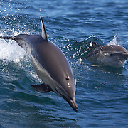 Common Dolphins in playful mood watched by Dolphin watch boats who follow the dolphins in the waters around  Paihia, while taking part in the swimming with dolphins experience run by Fullers Dolphin encounters from Paihia..The Bay of Islands is a stunning region consisting of 144 islands, abundant in natural wonder and marine life. With some of the warmest waters in New Zealand, the Bay of Islands is a natural wonderland where you can encounter bottlenose and common dolphins, whales, seals, penguins and a diverse range of birdlife.. Paihia, Bay of Islands, North Island,  New Zealand, 15th November 2010. Photo Tim Clayton.
