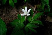 White trillium in woodland setting
