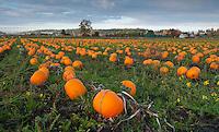 Pumpkins wait in the fields near Island View Park, Victoria, BC