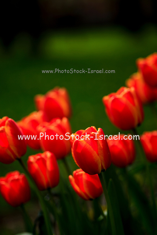 Blooming red tulip flowers close up