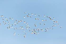 Snow geese in flight formation against blue sky, Bosque del Apache, National Wildlife Refuge, New Mexico, USA.