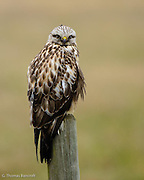 Rough-legged Hawks are regular wintering birds in agricultural area in western Washington.