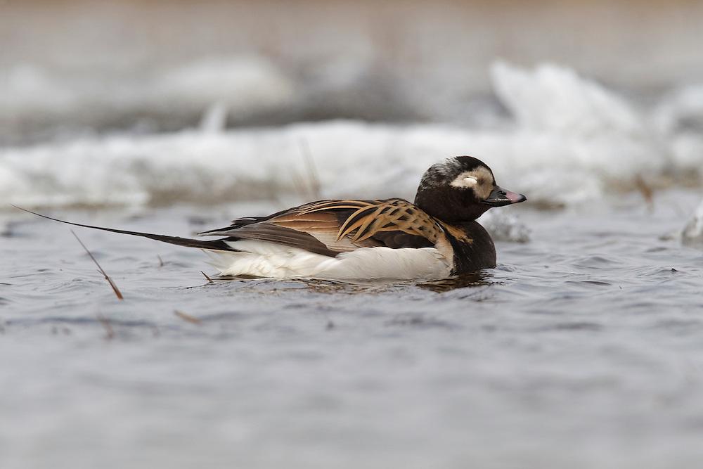 Long-tailed Duck - Clangula hyemalis - breeding male