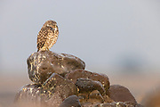 A burrowing owl (Athene cunicularia) closes its eyes to shield them from heavy rain in Grant County, Washington.