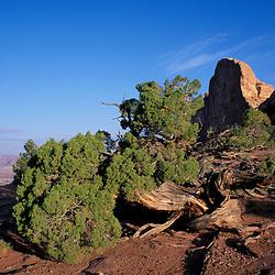 Canyonlands, UT.Rocky Mountain Juniper, juniperus scopulorum. Green River Overlook.
