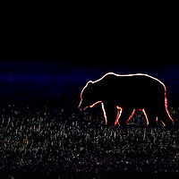 Grizzly bear silhouette at sunrise walking across a dew-covered field in Lake Clark National Park Alaska.