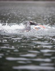 26.08.2018, Zell am See Kaprun, AUT, IRONMAN 70.3 Salzburg, ein Athlet im Wasser // during IRONMAN 70.3, Salzburg at Zell am See- Kaprun, Austria on 2018/08/26. EXPA Pictures © 2018, PhotoCredit: EXPA/Stefanie Oberhauser