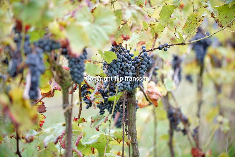 Nederland, Groesbeek, 15-10-2020 Bij wijnhoeve de Colonjes zijn vrijwilligers bezig met de oogst van de laatste biologisch geteelde druiven van dit seizoen . Met 13 ha. een van de grootste van het land, gaat kwaliteit hier boven kwantiteit. De druiven zijn van goede kwaliteit . Het dorp Groesbeek afficheert zichzelf als het wijndorp van Nederland omdat er de jaarlijkse wijnfeesten zijn en verschillende boeren druiven verbouwen. Door de gevolgen van de coronacrisis en de tijdelijke sluiting van de horeca is het moeilijker de wijn te verkopen .Foto: ANP/ Hollandse Hoogte/ Flip Franssen