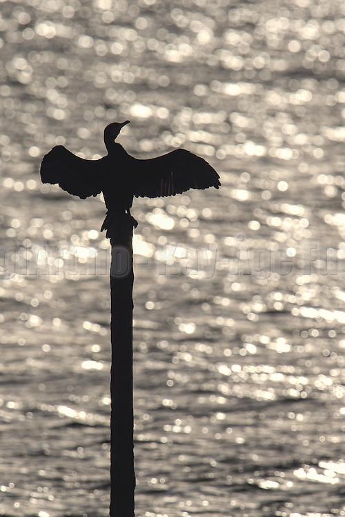 Cormorant on a pole, sundrying it's wings | En skarv står og soltørker vingene sine på en stake.