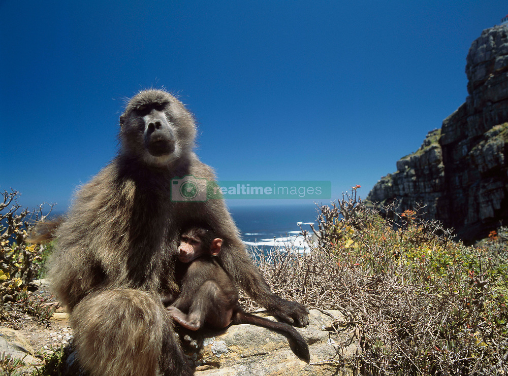 Mother and baby baboon at Cape Point (Credit Image: © Axiom/ZUMApress.com)