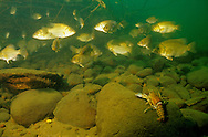 School of Rock Bass with crayfish<br /> <br /> ENGBRETSON UNDERWATER PHOTO