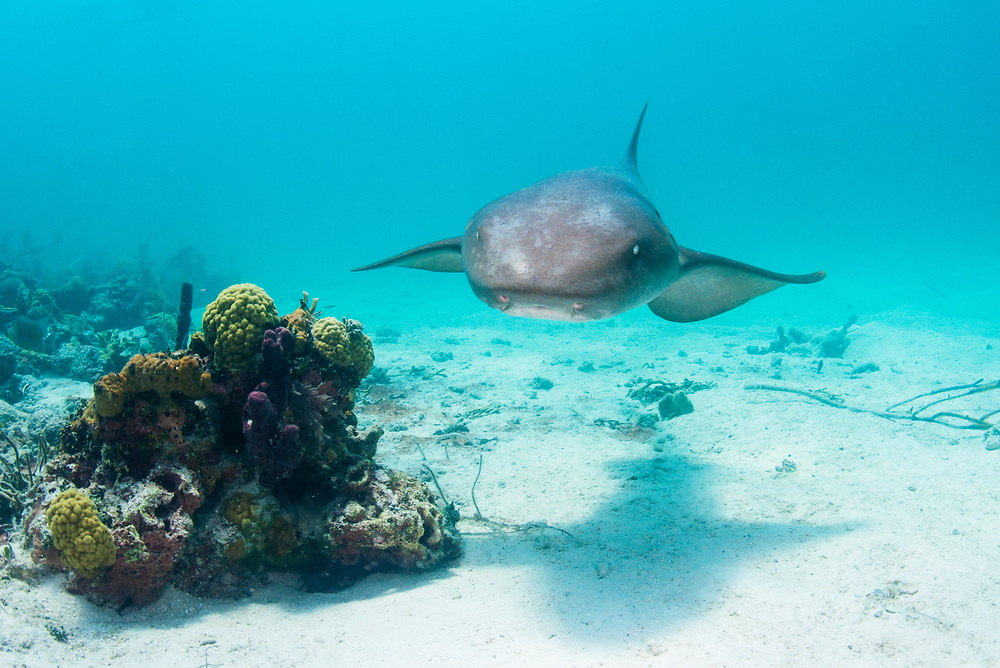 A nurse shark (Ginglymostoma cirratum) swimming among patch reefs near Eleuthera, Bahamas.