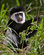 Eastern Black and White Colobus Monkey, Colobus guereza, from Kenya feeding on berries in the forest.
