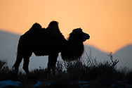 Bactrian camel, Camelus bactrianus, a feral animal living in the wild, but owned by a camel herdsman, often of Kazakh ethinicity. Tien Shan mountains, Xinjiang, China