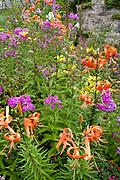 Colorful flower garden with orange tiger lilies and purple phlox. Lanesboro Minnesota MN USA
