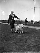 16/08/1952<br /> 08/16/1952<br /> 16 August 1952<br /> <br /> Miss L Rogers, Auburn Villa, Tivoli Rd., Dun Laoghaire with her two Samoyeds at Bray Dog Show