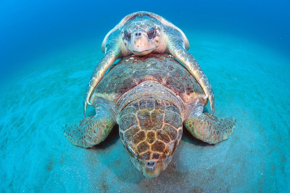 A pair of endangered Loggerhead Sea Turtles, Caretta caretta, mate on the surface offshore Juno Beach, Florida, United States.