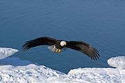 Bald Eagle, Haliaeetus leucocephalus, landing on iceberg, Kenai Peninsula, Homer Spit, Homer, Alaska. Digital original #2006_0818 ©Robin Brandt