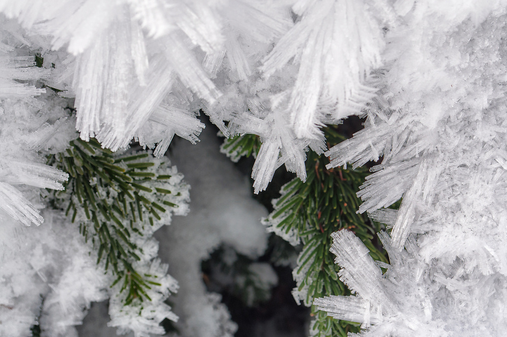 Hoar frost creates exquisite ice crystals over Subalpine Fir (Abies lasiocarpa) in Callaghan Lake Provincial Park, British Columbia, Canada.