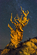 Bristlecone Pine at night with stars, Patriarch Grove, Ancient Bristlecone Pine Forest, Inyo National Forest, White Mountains, California