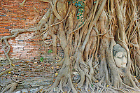 Thailande, province de Phra Nakhon Si Ayutthaya, Ayutthaya, Parc Historique, Wat Mahatat, tete de bouddha dans les racines d un ficus seculaire // Thailand, Ayutthaya, Ayutthaya Historical Park, Wat Mahatat, stone Buddha head sits entwined in the roots of a fig tree