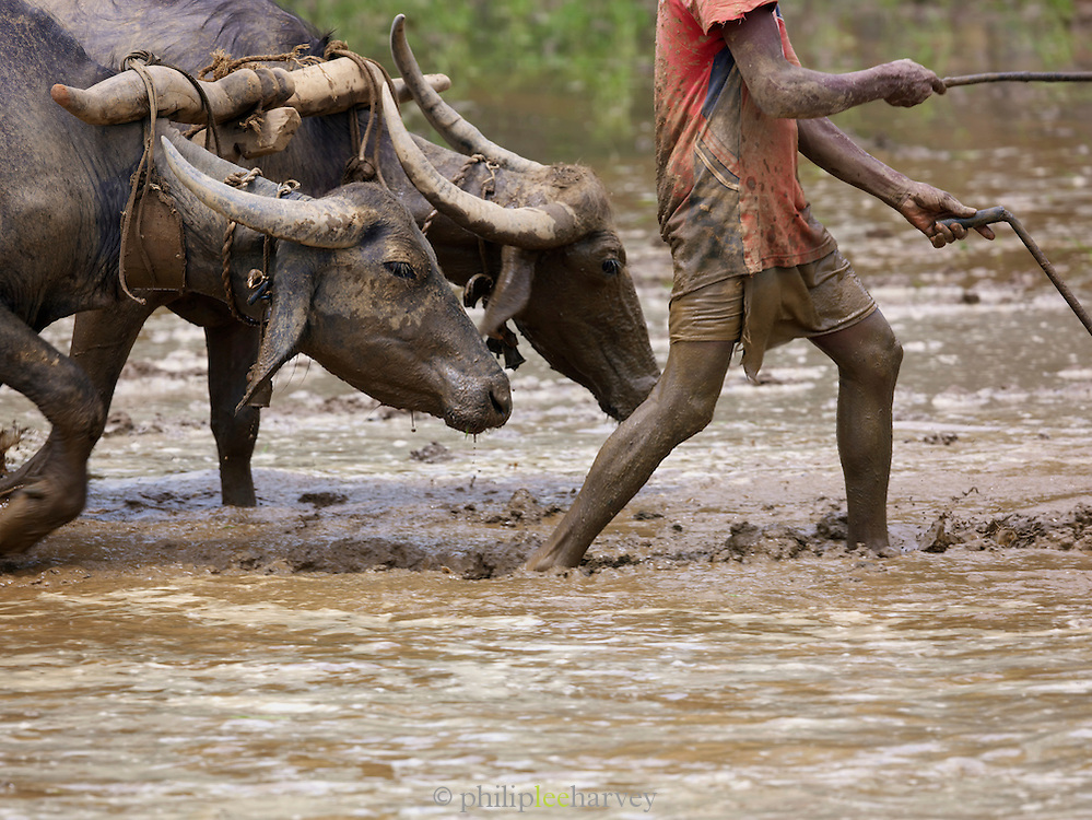 A farmer steers his water buffalo to plough a flooded paddy field. Once ploughing is complete he will plant rice, Mangalore, Karnataka, India