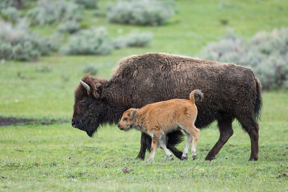 Bison calves during spring in Yellowstone