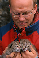 Wild Eurasian Lynx kittens, Lynx lynx, in the hands of the researcher, Stora Sjöfallet National Park, Laponia World Heritage Area, Lapland, Sweden