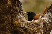 Rufous vanga (Schetba rufa) male on nest, Ankarafantsika Special Reserve. Dry forest of nw MADAGASCAR, endemic